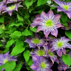 "Clematis ""Crystal Fountain"""