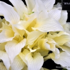 "Rare Hosta ""White Feather"""